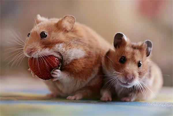 adorable-hamster-eating-strawberry