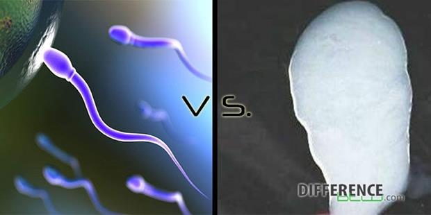 Difference-between-Sperm-and-Semen