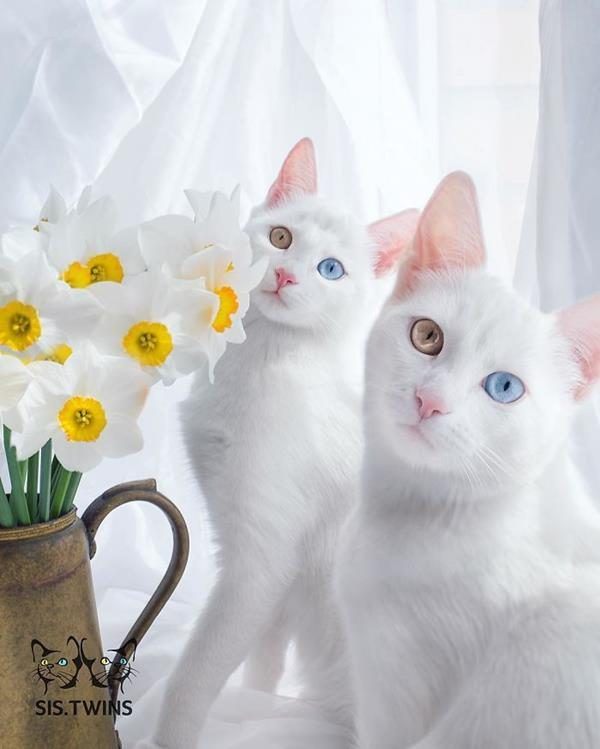 Iriss-and-Abyss-The-Most-Beautiful-Twin-Cats-In-The-World-1 (Copy)