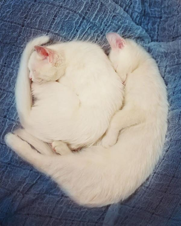 Iriss-and-Abyss-The-Most-Beautiful-Twin-Cats-In-The-World-11 (Copy)