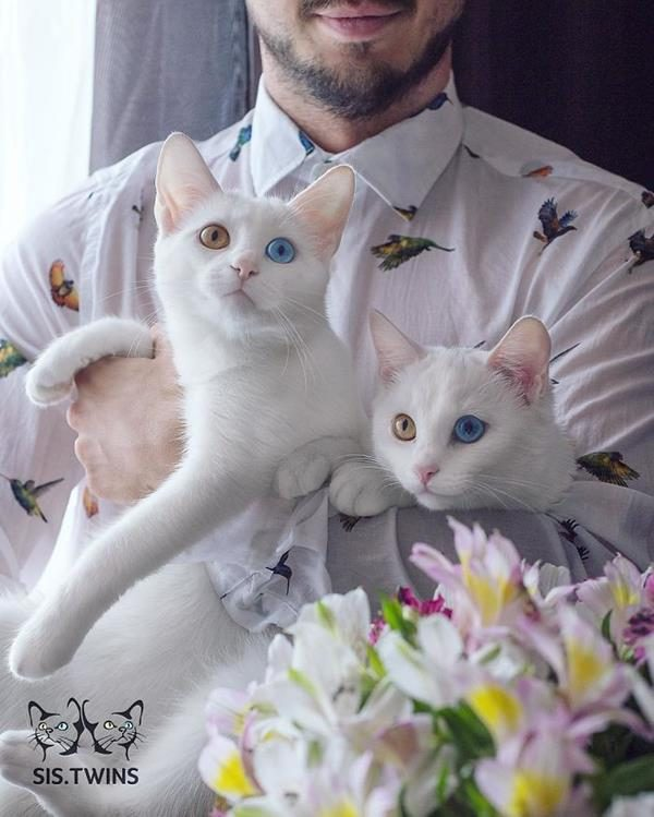 Iriss-and-Abyss-The-Most-Beautiful-Twin-Cats-In-The-World-12 (Copy)