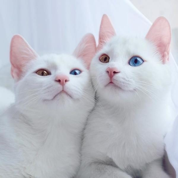 Iriss-and-Abyss-The-Most-Beautiful-Twin-Cats-In-The-World-2 (Copy)