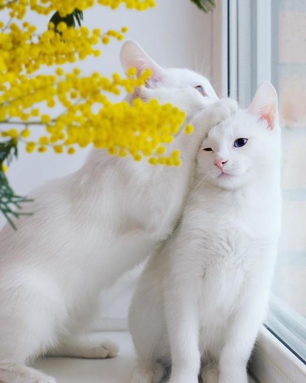 Iriss-and-Abyss-The-Most-Beautiful-Twin-Cats-In-The-World-4 (Copy)