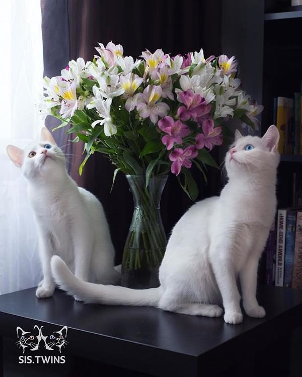 Iriss-and-Abyss-The-Most-Beautiful-Twin-Cats-In-The-World-6 (Copy)