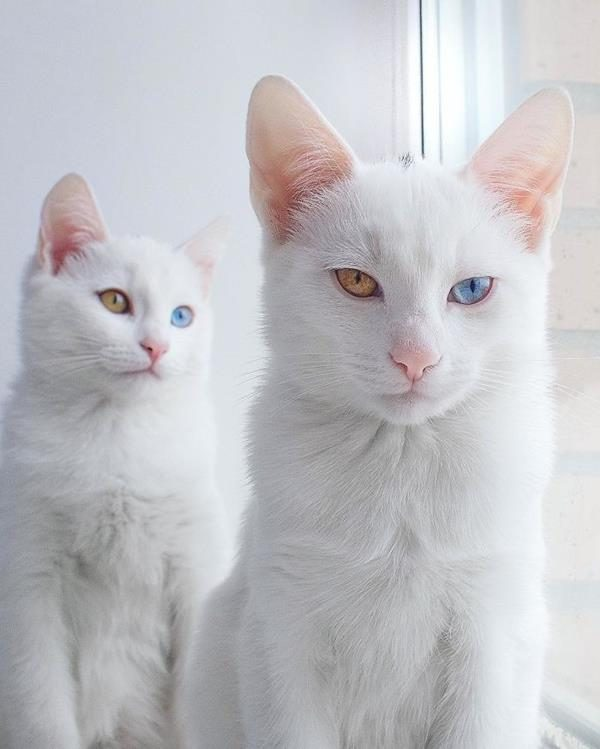 Iriss-and-Abyss-The-Most-Beautiful-Twin-Cats-In-The-World-7 (Copy)