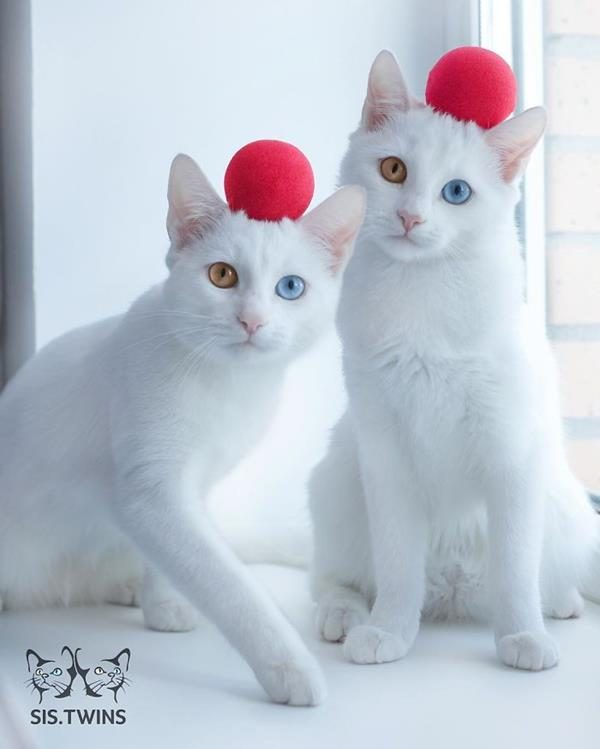 Iriss-and-Abyss-The-Most-Beautiful-Twin-Cats-In-The-World-9 (Copy)